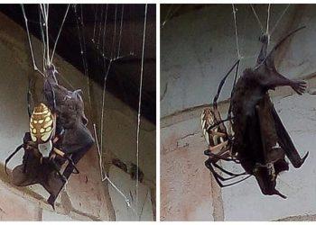 Гигантский паук поймал в свои сети летучую мышь (7фото)