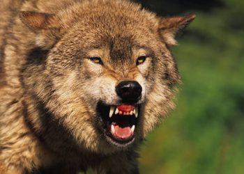 Почему волки не выступают в цирке? (4фото)